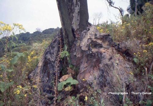 Arbre dont la base est entourée d'une coulée de lave, flancs du Nyiragongo (République Démocratique du Congo)