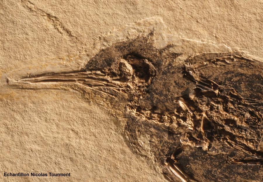 Tête et cou du colibri fossile d'âge oligocène trouvé à Oppedette dans le bassin d'Apt (Alpes de Haute Provence)