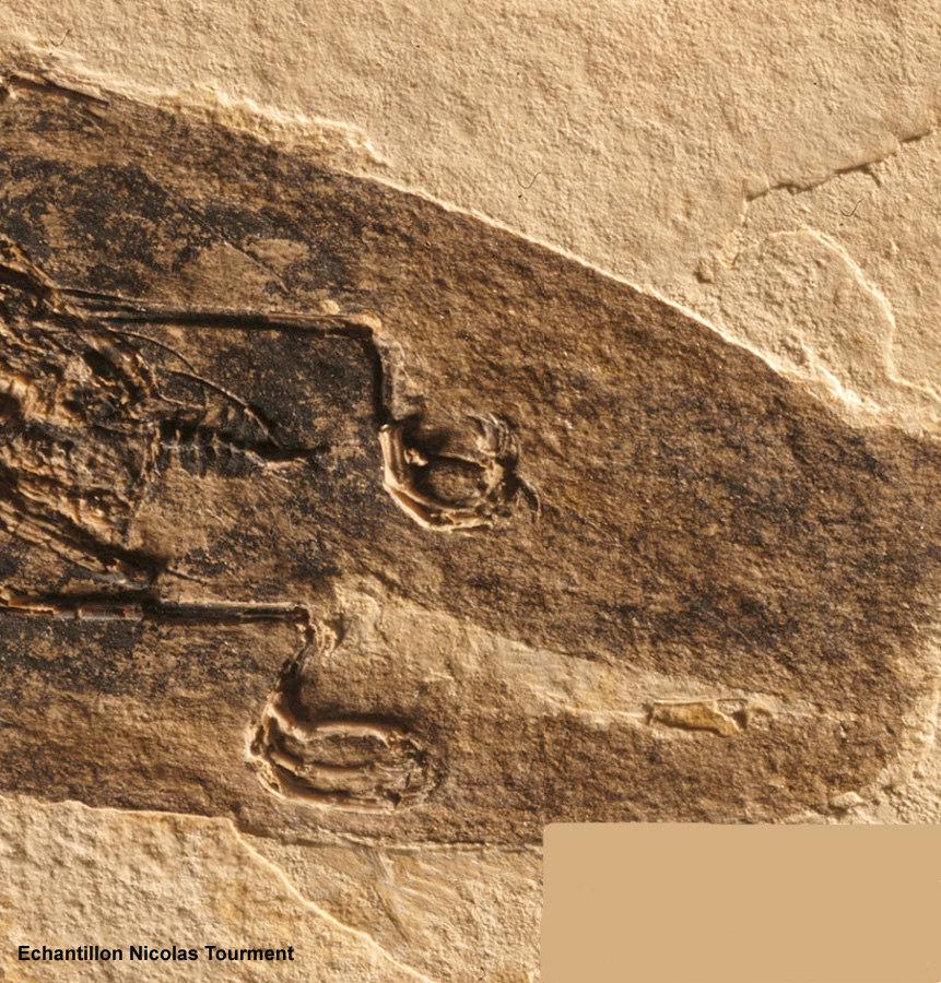 Partie postérieure du colibri fossile d'âge oligocène trouvé à Oppedette dans le bassin d'Apt (Alpes de Haute Provence)