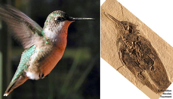 Colibri actuel / colibri fossile oligocène
