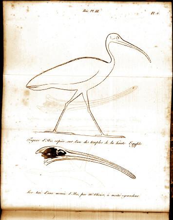 Planche hors texte montrant (1) une figure d'ibis copiée sur un temple de la Haute Égypte et (2) le dessin du bec d'une momie d'ibis