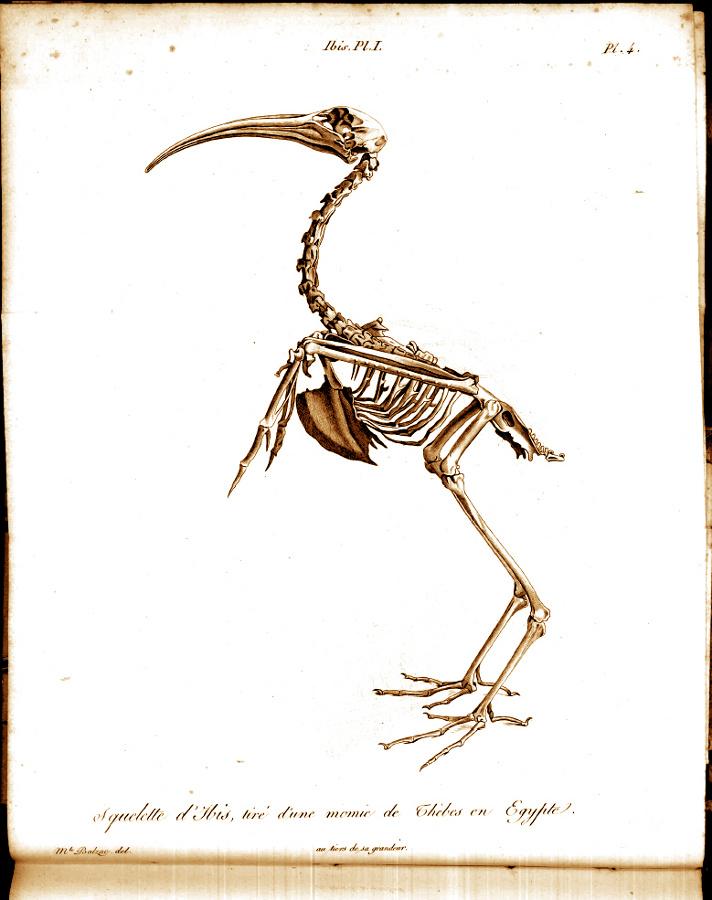 Dessin du squelette d'un ibis tiré d'une momie de Thèbes en Égypte