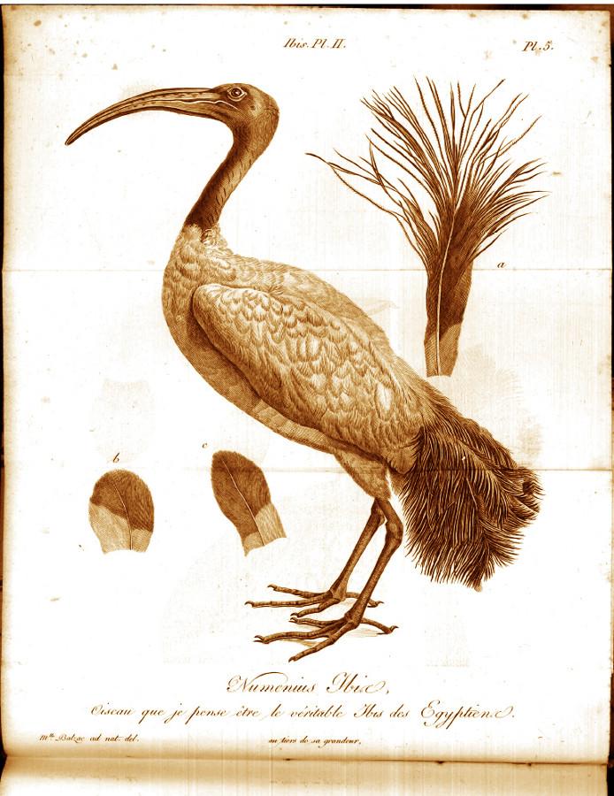 Dessin de l'Ibis numenius, oiseau actuel que Cuvier a trouvé en tout point semblable aux squelettes d'ibis des momies égyptiennes