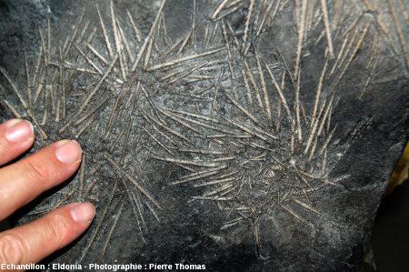 Fossiles d'Archaeocidaris immanis, oursin du Carbonifère moyen