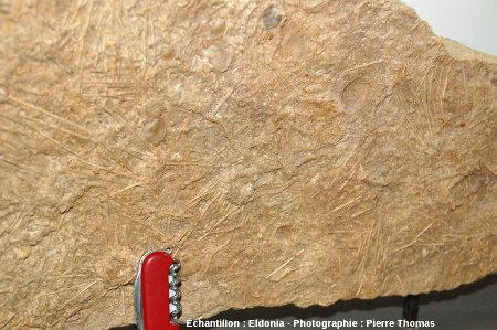 Dalle à Acrosalenia bradfordtensis, oursin fossile du Bathonien inférieur, Neufchateau (Vosges)