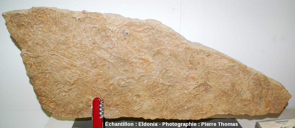 Vue générale d'une dalle à Acrosalenia bradfordtensis, oursin fossile du Bathonien inférieur, Neufchateau (Vosges)