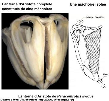 Lanterne d'Aristote d'un oursin actuel: Paracentrotus lividus