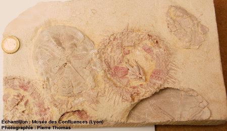 Dalle à oursins fossiles (Plagiobrissus imbricatus), carrière de Caberan, Menerbes (Vaucluse)