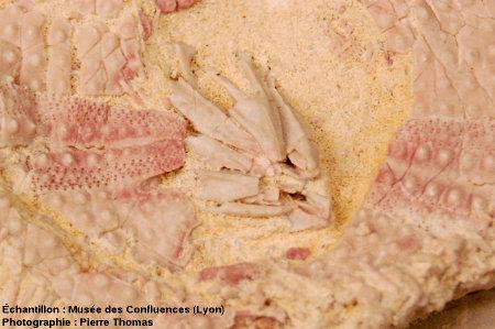 Lanterne d'Aristote d'un oursin, Plagiobrissus imbricatus