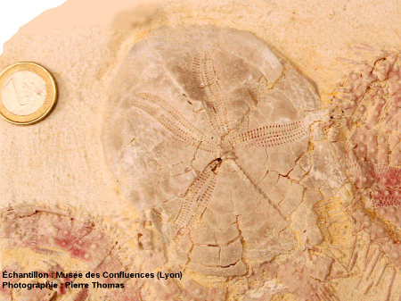 Face anale d'un oursin, Plagiobrissus imbricatus
