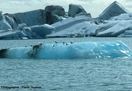 Oiseaux de mer sur un iceberg du Jökulsarlon, Islande