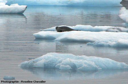 Phoque sur un iceberg du Jökulsarlon, Islande