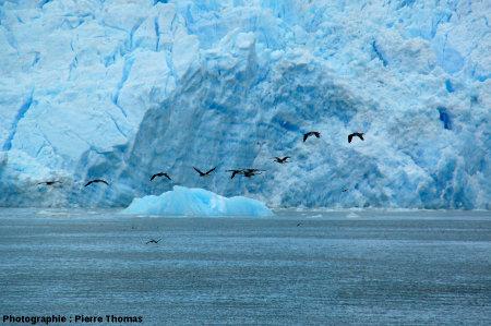 Vol de cormorans devant les alternances glace sombre - glace claire au front du glacier San Rafael, Chili