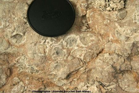 Coupes transversales de valves cylindriques d'Hippurites sp., calcaire à rudistes sous les remparts du Castellet (Var)