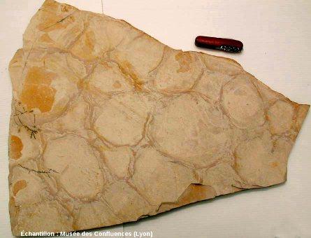 Dalle de calcaire lithographique présentant à sa surface des fentes de dessiccation, carrière de Cerin (Ain)