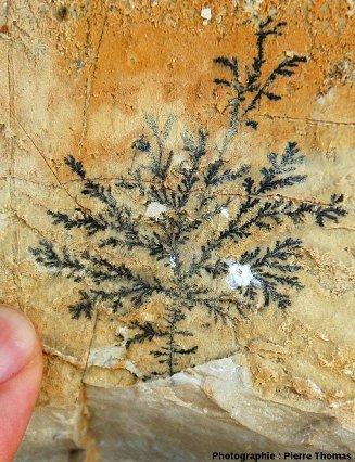 Dendrite d'oxyde de manganèse dans une fracture perpendiculaire aux couches, ancienne carrière de Cerin (Ain)