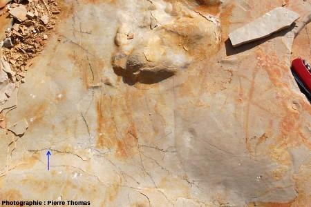 Réseaux dendritiques à la surface d'un banc, carrière de Cerin (Ain)