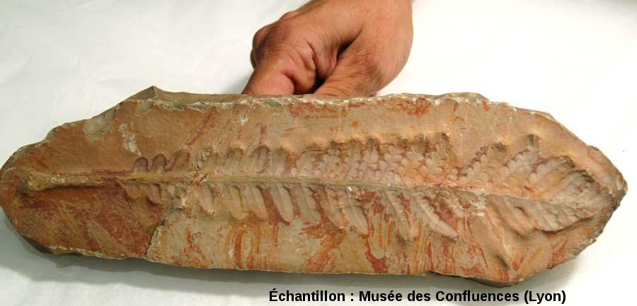 Fronde de Cycadopteris jurensis, Ptéridospermale du Kimméridgien, Cerin (Ain)