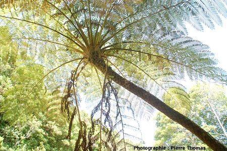 Fougère arborescente actuelle, île de Fayal, Açores