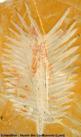 Feuille de Zamites fenoanis, Bennetitale du Kimméridgien, Cerin (Ain)