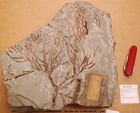 Branche ramifiée de Brachyphyllum sp., conifère du Kimméridgien, carrière de Cerin (Ain)