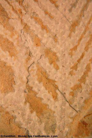 Détail de branche ramifiée de Brachyphyllum sp., conifère du Kimméridgien, gisement de Morestrel (Isère)