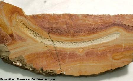 Empreinte (en creux) d'un rameau de «conifère sp.», Kimméridgien, carrière de Cerin (Ain)