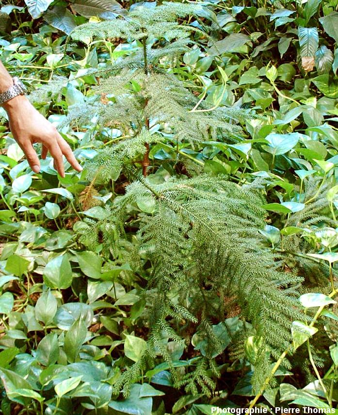 Araucaria heterophylla (dit «pin de Norfolk» bien que ce ne soit pas un pin)