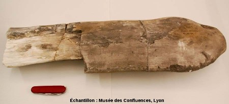 Fragment de bois fossile (Cupressinoxylon sp.), Kimméridgien, carrière de Cerin