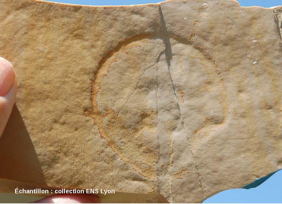 Méduse fossile, Kimméridgien, carrière de Cerin