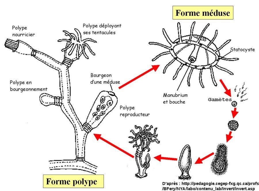 Cycle de développement caractéristique des Cnidaires : alternance de la forme polype et de la forme méduse