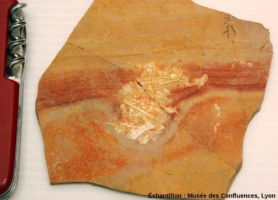 Plaque de calcaire comprenant déchet fossile (de type coprolithe) riche en piquants d'oursins, Cerin (Ain)