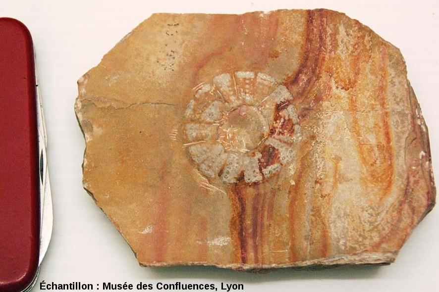 Pseudodiadema sp., oursin aux nombreux piquants longs et fins, Kimméridgien, Cerin (Ain)