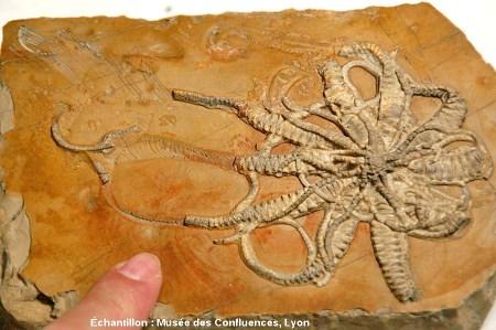 Solanocrites thiollierei, comatule fossile presque complète du Kimméridgien, carrière de Cerin (Ain)