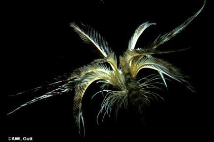 Promachocrinus kerguelensis, comatule nageuse actuelle des mers australes