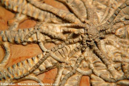 Détail de la partie centrale du fossile de Solanocrites thiollierei, Kimméridgien, carrière de Cerin (Ain)