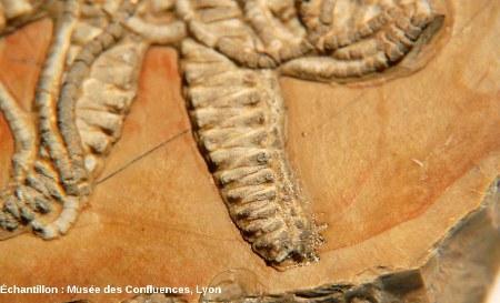 Détail de l'extrémité d'un des bras du fossile de Solanocrites thiollierei, Kimméridgien, carrière de Cerin (Ain)