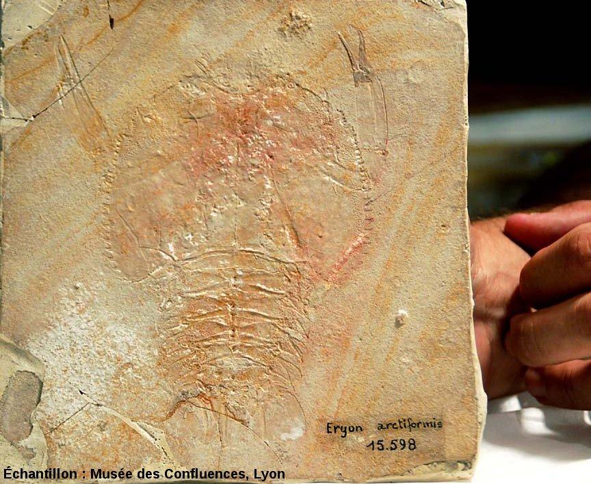 Eryon arctiformis, un Crustacé décapode du Kimméridgien, carrière de Cerin (Ain)