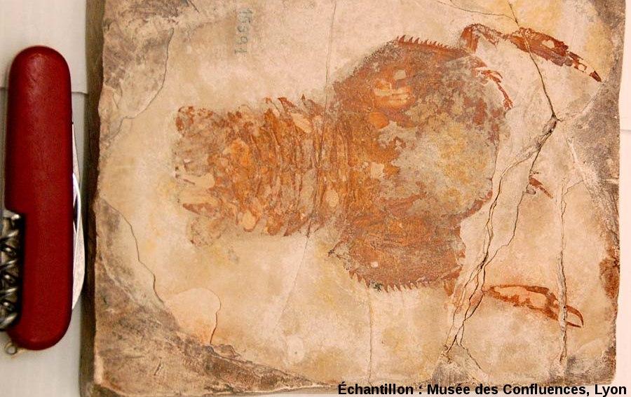 Eryon sp., Crustacé décapode du Kimméridgien, carrière de Cerin (Ain)