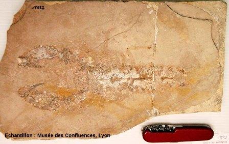 Macrourites cirensis, Crustacé décapode du Kimméridgien, carrière de Cerin (Ain)