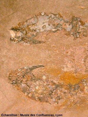 Détail des pinces de Macrourites cirensis, Crustacé décapode du Kimméridgien, carrière de Cerin (Ain)