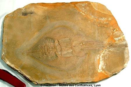 """Spathobatis bugesiacus, """"raie"""" batoïde du Kimmeridgien, carrière de Cerin (Ain)"""