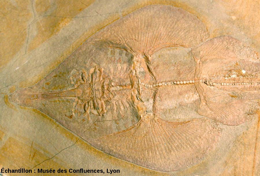 """Détail de la région antérieure de Spathobatis bugesiacus, """"raie"""" batoïde du Kimmeridgien, carrière de Cerin (Ain)"""