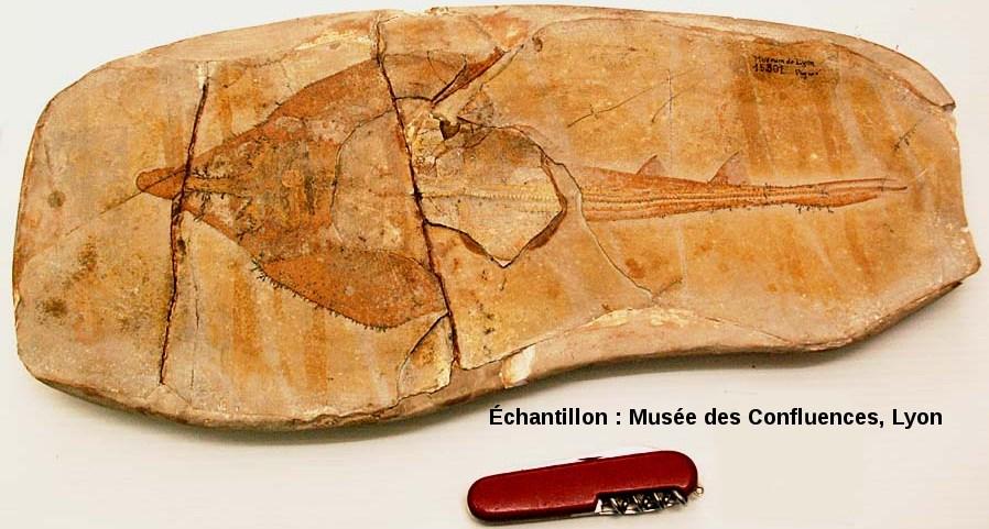 """Autre exemplaire de Spathobatis bugesiacus, """"raie"""" batoïde du Kimmeridgien, carrière de Cerin (Ain)"""