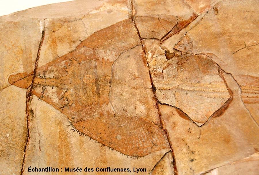 """Région antérieure de Spathobatis bugesiacus, """"raie"""" batoïde du Kimmeridgien, carrière de Cerin (Ain)"""