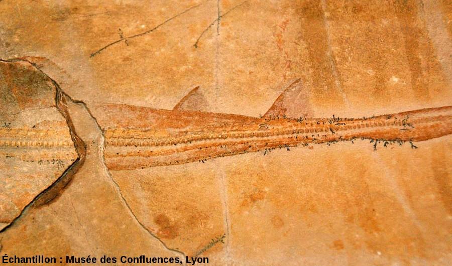 "Région caudale de Spathobatis bugesiacus, ""raie"" batoïde du Kimmeridgien, carrière de Cerin (Ain)"