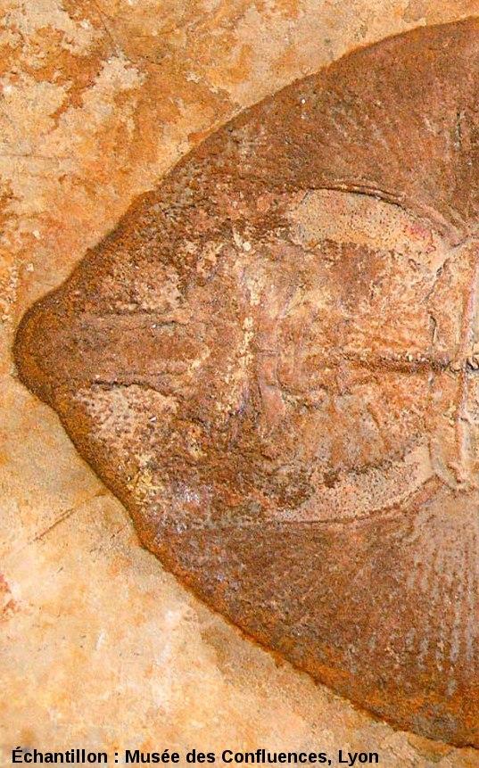 """Région antérieure de Belemnobatis sismondae, """"raie"""" batoïde du Kimmeridgien, carrière de Cerin (Ain)"""