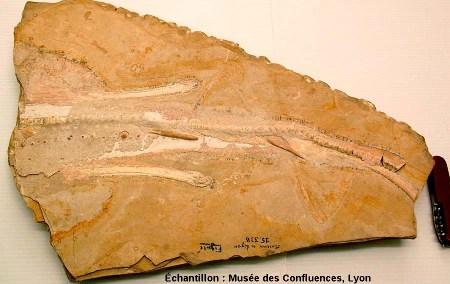 """Fossile de la partie postérieure de Belemnobatis sismondae, """"raie"""" batoïde du Kimmeridgien, carrière de Cerin (Ain)"""