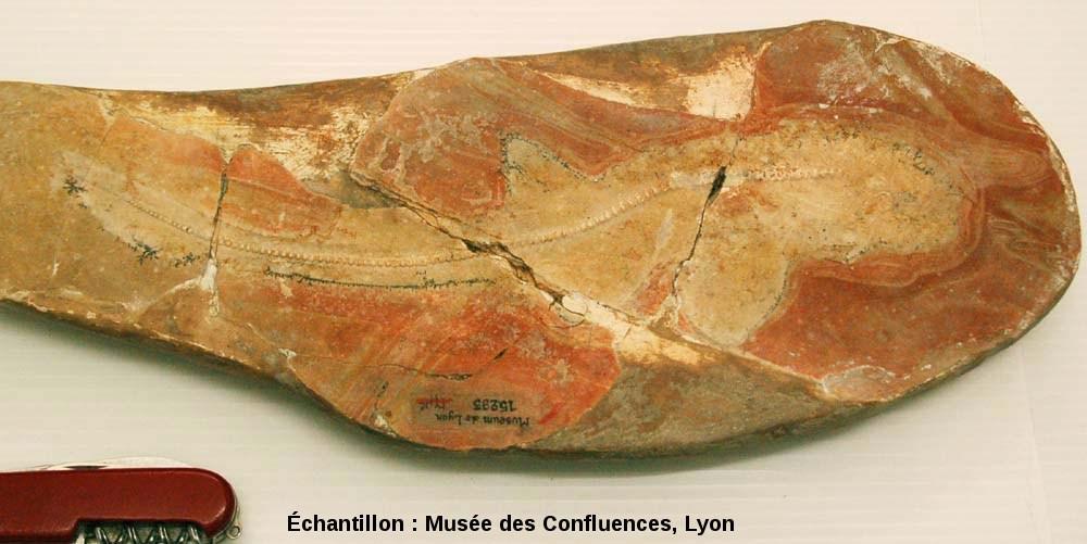 Phorcynis catulina, requin du Kimmeridgien, carrière de Cerin (Ain)
