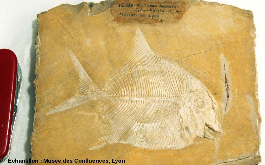Proscinetes bernardi, (anciennement connu sous le nom de Microdon), poisson pycnodonte du Kimmeridgien, carrière de Cerin (Ain)